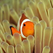 anemone and nemoish. - stock photo