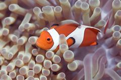 Anemone and clown-fish Stock Photos