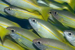 Yellow-fins goat-fishes Stock Photos