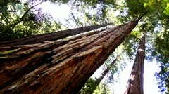 Redwood Forest.44 - stock footage