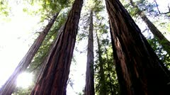 Redwood Forest.45 - stock footage