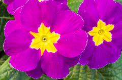 Flowering primrose blossoms with leaves Stock Photos
