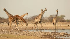 Giraffes at waterhole Stock Footage