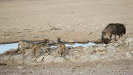 Stock Video Footage of Brown hyena drinking water