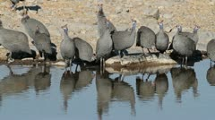 Helmeted guineafowls Stock Footage