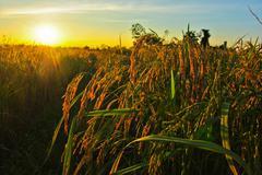 Sunset over rice field Stock Photos
