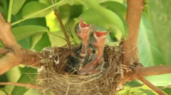 Baby birds in nest Stock Footage