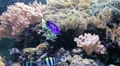 Sea Life - Coral. The species of fish in the description field. HD Footage