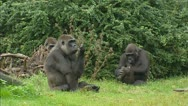Stock Video Footage of Gorilla family
