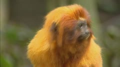 Golden lion tamarin (leontopithecus rosalia rosalia) medium shot - stock footage