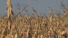 High Voltage Pylons.Field of maize. Stock Footage