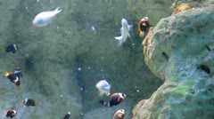 Aquarium Fish. Tomato clownfish and blue green damselfish Stock Footage
