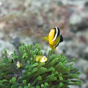 Clark's anemonefish and anemones Stock Photos