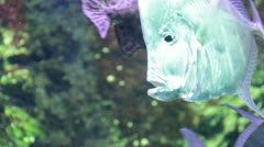 Lookdown fish (Selene vomer) Stock Footage