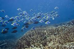 underwater landscape with school of blue surgeonfishes (acanthurus leucostern - stock photo
