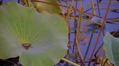 Lotus leaf pool in beijing. Stock Footage
