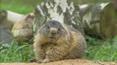 Alpine Marmot (Marmota marmota), murmeltier Stock Footage