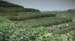 Longjing tea picking - stock footage