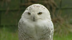 Snowy Owl (Bubo scandiacus) turns entire head Stock Footage