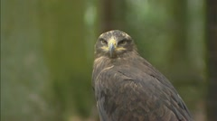 Steppe Eagle (Aquila nipalensis) Stock Footage
