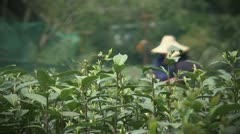 Longjing tea picking Stock Footage