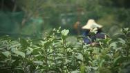 Longjing tea picking Stock Footage