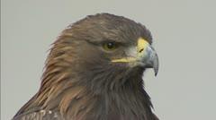 Golden Eagle (Aquila chrysaetos) close up Stock Footage