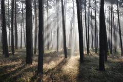 mystic forest, sun rays entering trough the fog - stock photo