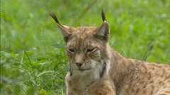 Eurasian Lynx (Lynx lynx) medium shot Stock Footage