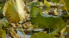 Vast lotus leaf pool in autumn beijing. Stock Footage