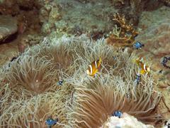 clownfish and anemone - stock photo