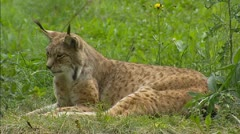 Eurasian Lynx (Lynx lynx) looks around Stock Footage