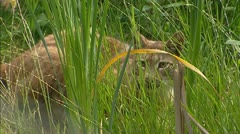 Eurasian Lynx (Lynx lynx) juvenile Stock Footage