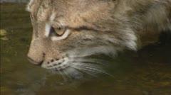 Eurasian Lynx (Lynx lynx) drinks Stock Footage