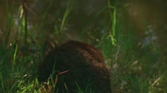 Otter in Big Thicket, Texas 4 Stock Footage