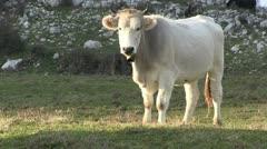 Cow-range-italy Stock Footage