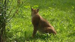 Eurasian Lynx (Lynx lynx) sits, side view Stock Footage