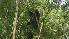 Asian black bear (Ursus thibetanus) in tree Stock Footage