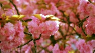 Stock Video Footage of Pink Spring Blossom in the Sun (HD)
