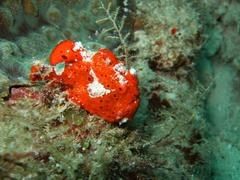 red ugly frogfish - stock photo
