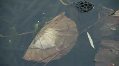 withered lotus leaf in water,lotus leaf pool in autumn beijing. - stock footage