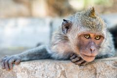 artful monkey ready to grab - stock photo