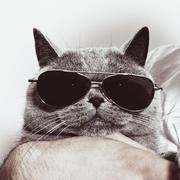 Funny muzzle of gray british cat in sunglasses Stock Photos