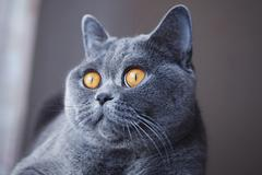 Pleased muzzle of gray british cat Stock Photos