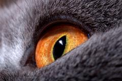 Yellow cat's eye macro Stock Photos