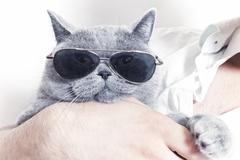 funny muzzle of gray british cat in sunglasses - stock photo