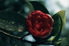 japanese camellia red flower on a bush - stock photo