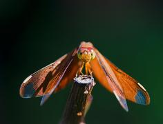 red dragonfly resting on branch - stock photo