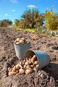 first harvest of organically grown new potatoes - stock photo