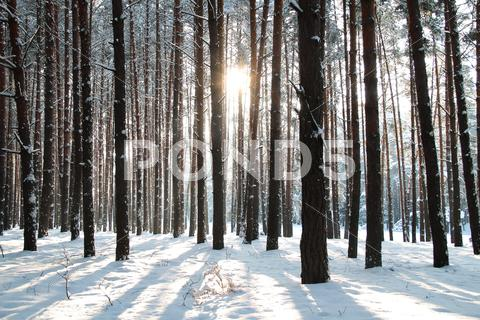 Stock photo of Winter forest